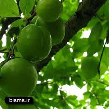 گوجه سبز , گوجه سبز و لاغری , گوجه سبز در بارداری , گوجه سبز کالری