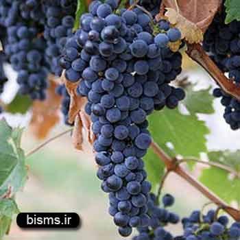 انگور سیاه ، خواص انگور سیاه , انگور سیاه در بارداری , انگور سیاه و دیابت , انگور سیاه برای سرماخوردگی