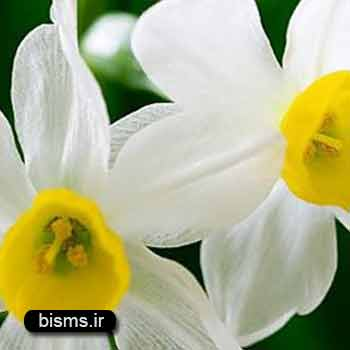 گل نرگس ، خواص گل نرگس , گل نرگس وحشی , خواص گل نرگس , انواع گل نرگس