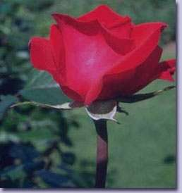 ميوه گل سرخ و بهبود درد و التهاب مفصل