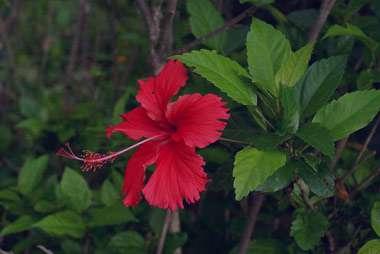 گل ختمی چینی تنظیم کننده قند خون