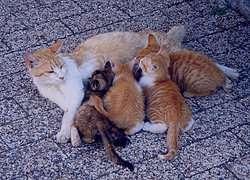 """""""تعبیر خواب گربه"""" سفید وحشی سیاه خاکستری در خانه"""