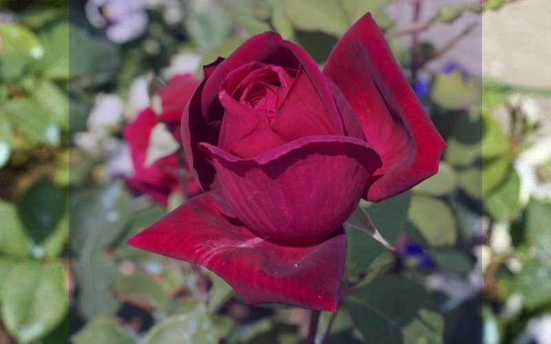 عکس گل رز   گالری زیباترین و جدیدترین مدل های گل رز در رنگ