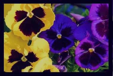 گل بنفشه , گل بنفشه کوهی , گل بنفشه خشک , گل بنفشه برای خواب نوزاد