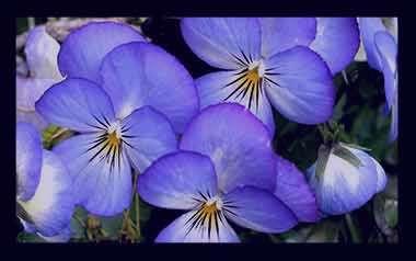 """روغن گل بنفشه برای مژه کامل ترین مرجع در مورد """"گل بنفشه"""" و تاثیر آن روی بیش از 20 ..."""