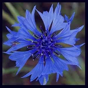 گل گندم , گیاه گل گندم , گل گندم یا قنطوریون , گل گندم خواص