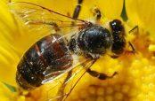 تعبیر خواب زنبور
