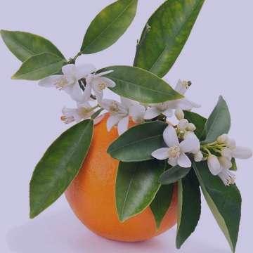 خواص بهار نارنج در بارداری , خواص عرق بهار نارنج در بارداری , خواص شربت بهار نارنج در بارداری , خواص بهار نارنج در دوران بارداری