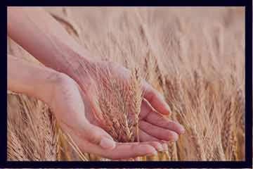 خواص جوانه گندم برای چاقی صورت , خواص پودر جوانه گندم برای چاقی صورت , فواید جوانه گندم برای چاقی صورت , خاصیت جوانه گندم برای چاقی صورت