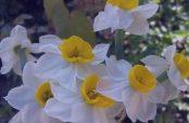 در مورد خواص گل نرگس در طب سنتی و طرز تهیه روغن گل نرگس