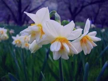 خواص گل نرگس در طب سنتی , خواص گل نرگس , خواص گل نرگس طب سنتی , خواص گل نرگس شیراز
