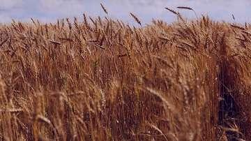 گندم در بارداری , جوانه گندم در بارداری , خوردن گندم در بارداری , سبوس گندم در بارداری