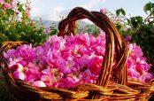 استفاده از گل محمدی برای یبوست و طرز تهیه شربت گل محمدی