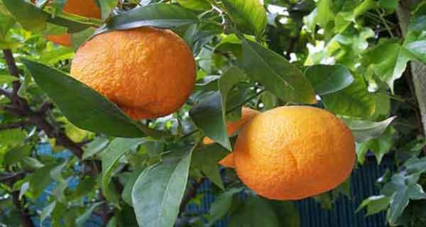 بهار نارنج و به لیمو ، خواص دمنوش بهار نارنج و به لیمو ، دمنوش بهار نارنج و به لیمو ، خاصیت درمانی بهار نارنج و به لیمو
