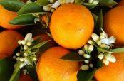 آیا پزشکان مصرف بهار نارنج در بارداری را تایید می کنند یا خیر؟