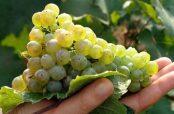 استفاده از انگور و خواص آن برای درمان دیابت و بارداری در طب سنتی