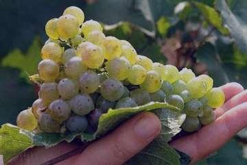 انگور و خواص آن , شیره انگور و خواص آن , انگور و خواص درمانی آن , انواع انگور و خواص آنها