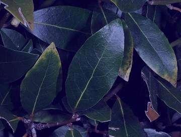 برگ بو در غذا , برگ بو در چه غذاهایی استفاده می شود , استفاده برگ بو در غذا , کاربرد برگ بو در غذا