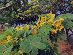 برگ سنا برای یبوست , خواص برگ سنا برای یبوست , مصرف برگ سنا برای یبوست , برگ سنا و یبوست