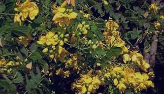 برگ سنا و یبوست , مصرف برگ سنا و یبوست , خواص برگ سنا و یبوست