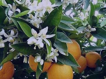 بهار نارنج و پریود , بهار نارنج پریود , خواص بهار نارنج برای قاعدگی , تاثیر بهار نارنج بر قاعدگی