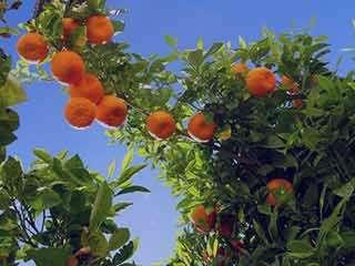 خواص نارنج برای مو ، خواص نارنج برای موی سر ، خواص پوست نارنج برای مو ، خواص آب نارنج برای مو