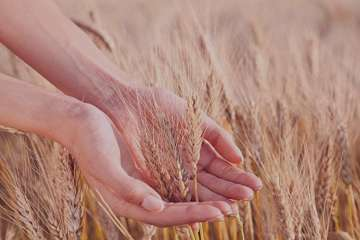 خواص گندم , خواص گندم سیاه , خواص گندم پخته , خواص گندمک