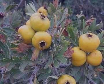 زالزالک زرد , زالزالک زرد , خواص زالزالک زرد , درخت زالزالک زرد