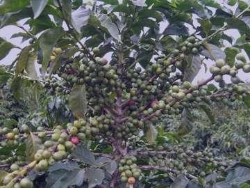 خواص قهوه سبز چیست , خاصیت قهوه سبز چیست , فواید قهوه سبز چیست , خواص قهوه ی سبز چیست