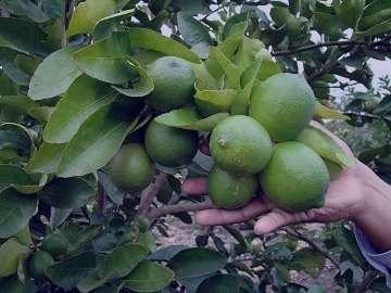 لیمو عمانی تازه , لیمو عمانی تازه , خواص لیمو عمانی تازه , لیمو عمانی