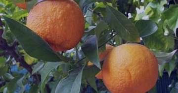 نارنج و بارداری , بهار نارنج و بارداری , عرق بهار نارنج و بارداری , آب نارنج و بارداری