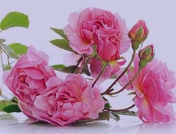 گل محمدی+کاشت , گل محمدی کاشت داشت برداشت , گل محمدی کاشتن , گل محمدی کاشت مو