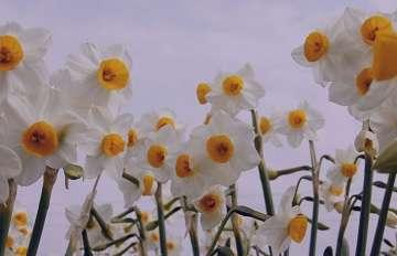 گل نرگس نماد چیست؟ , گل نرگس نشانه چیست , گل نرگس سمبل چیست , گل نرگس در ادبیات نماد چیست