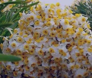 گل نرگس وحشی , عکس گل نرگس وحشی , گل های نرگس وحشی , نام علمی گل نرگس وحشی