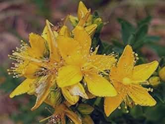 علف چای یا گل راعی , خواص علف چای یا گل راعی , علف چای یا گل راعی چیست , علف چای یا گل راعی در بارداری