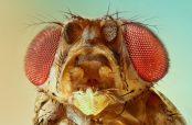 آشنایی و کاربرد انواع مگس سرکه وحشی اسکارلت نر و ماده