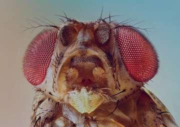 مگس سرکه , مگس سرکه آزمایشگاه ژنتیک , مگس سرکه وحشی , مگس سرکه اسکارلت