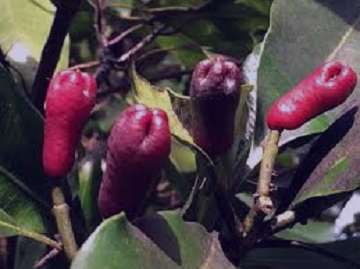 میخک و خواص مفید آن , میخک و خواص آن , گیاه میخک و خواص آن , میخک و خواص مفید آن