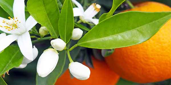 خواص بهار نارنج چیست ، خاصیت بهار نارنج چیست ، فواید بهار نارنج چیست ، خواص عرق بهار نارنج چیست