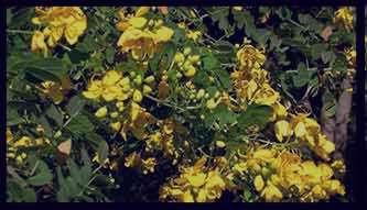 خواص برگ سنا ، خواص برگ سنا و گل محمدی ، خواص برگ سنا برای لاغری ، خواص برگ سنا و گل سرخ