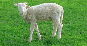 فروش گوسفند زنده با مجوز شهرداری تهران