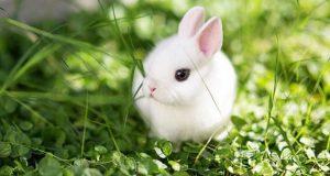 خواص و مضرات و حکم مصرف گوشت خرگوش نر وحشی حلال یا حرام و مکروه چیست