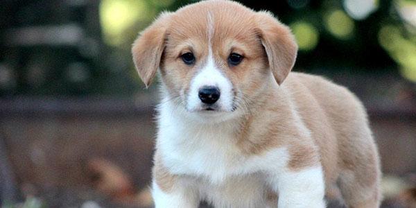گوشت سگ , مضرات خوردن گوشت سگ , رنگ گوشت سگ , مشخصات گوشت سگ