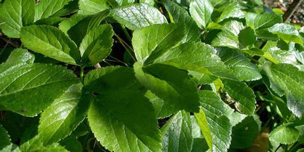برباله , گیاه برباله , خواص گیاه برباله , خواص دارویی گیاه برباله
