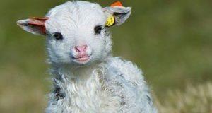 طبع و خواص و مضرات مصرف گوشت بره استرالیایی در بارداری برای زن باردار سرد یا گرم
