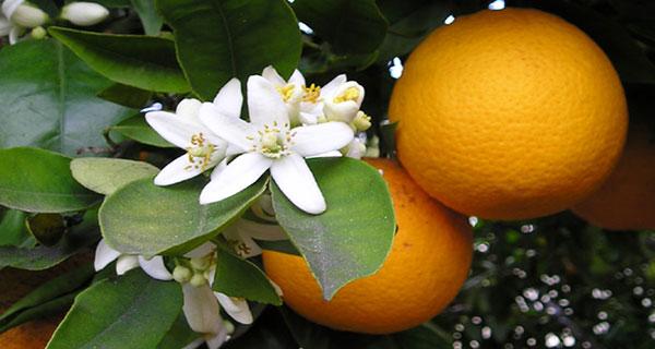 بهار نارنج ، خواص بهار نارنج ، عرق بهار نارنج ، fihv khvk[ ، o,hw fihv khvk[
