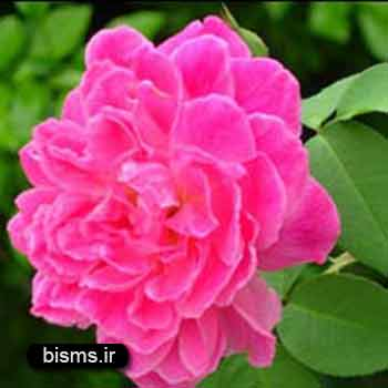 گل محمدی،خواص گل محمدی