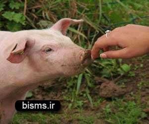 آنفلوانزای خوکی چگونه سرايت می کند؟