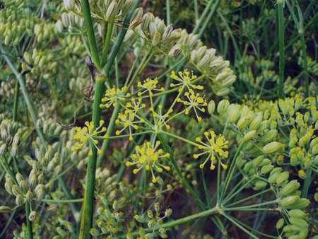 کاهش نفخ با گیاه رازیانه