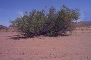 همه چیز درباره درخت مسواک